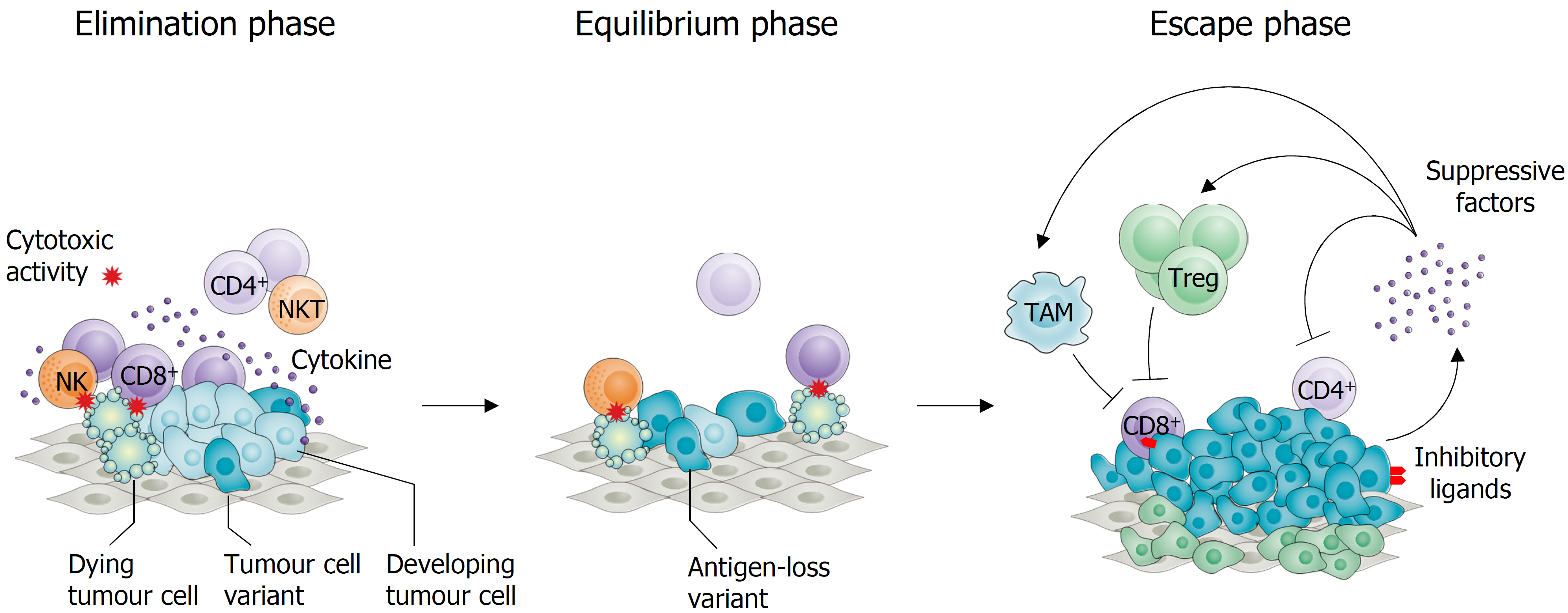 How is the function of the immune system suppressed during tumour development?