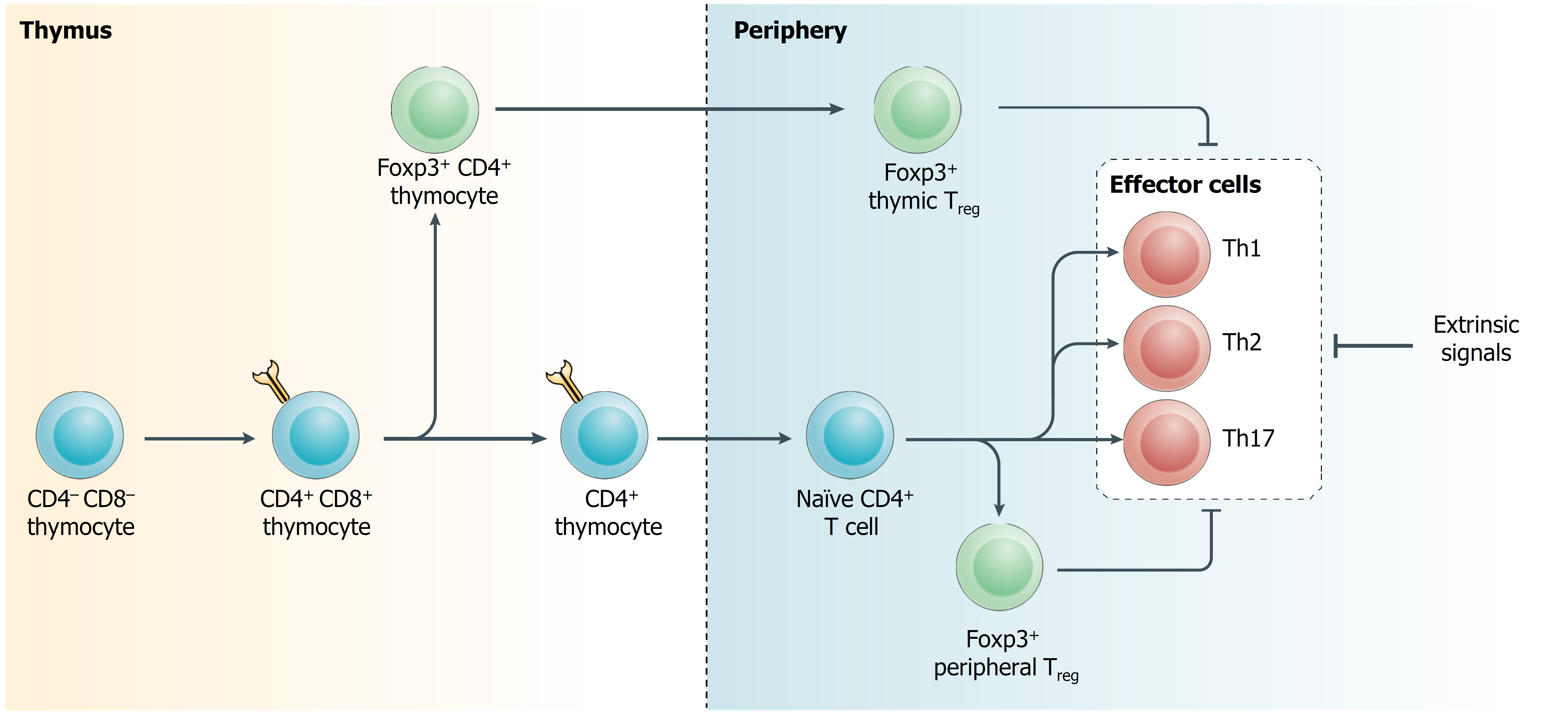 Immunoregulatory function within the T cell lineage.